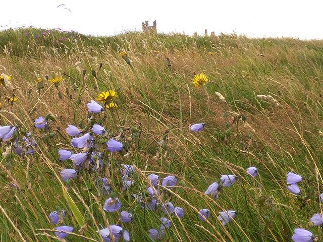 Harebells on the Northumbrian coast