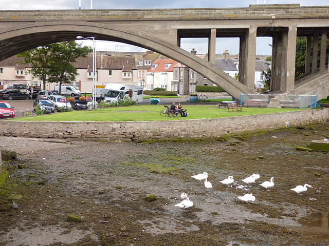 Swans on the edge of the Tweed in Berwick