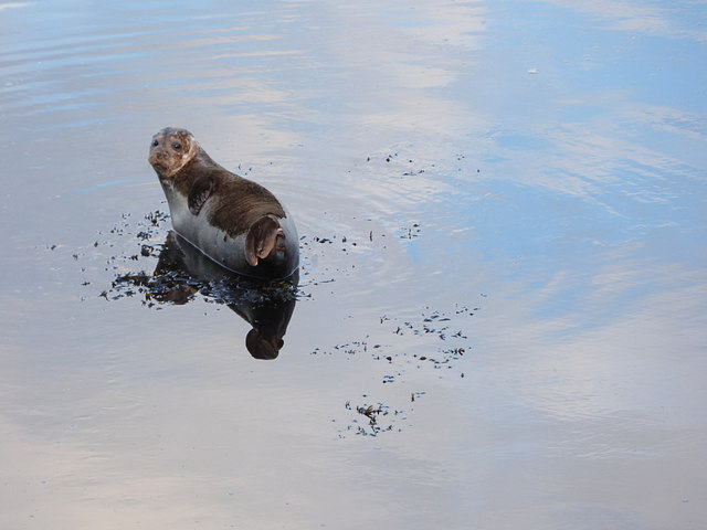 Seal in shallow water, Berwick-upon-Tweed