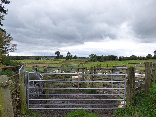 Sheep herding, Eglingham