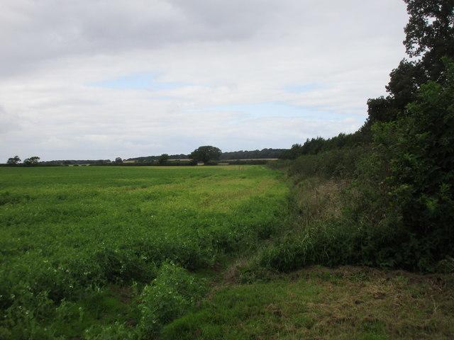Field of peas near Sproatley