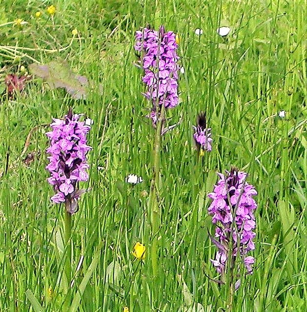 Southern marsh orchids in the Pannel Valley Nature Reserve