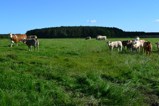 Cows in field with Faddon Covert beyond
