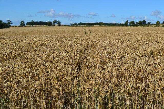 Crop field near Whitsomehill