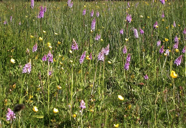 Common spotted orchids and buttercups, Marline Meadows