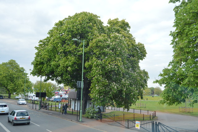 Chestnut tree, Midsummer Common