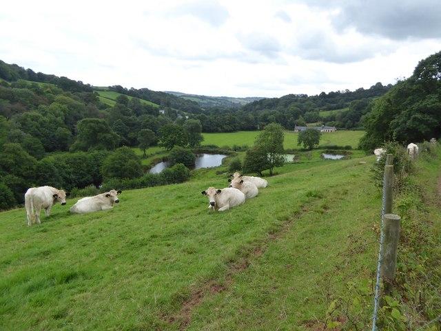 Cows and fishing lakes south of Ashilford