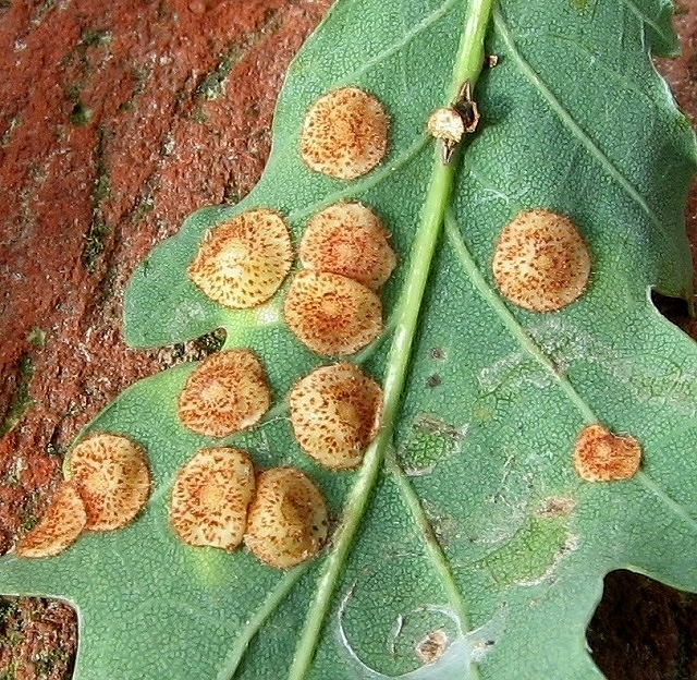 Common Spangle galls on oak