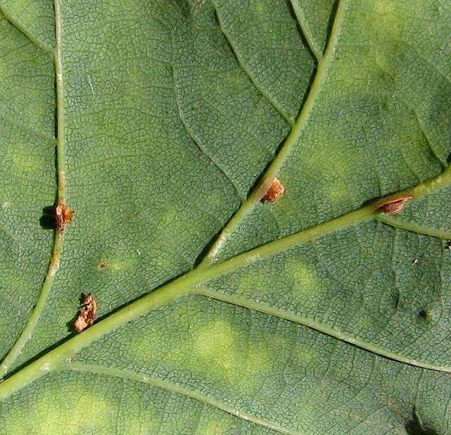 Objects on underside of oak leaf
