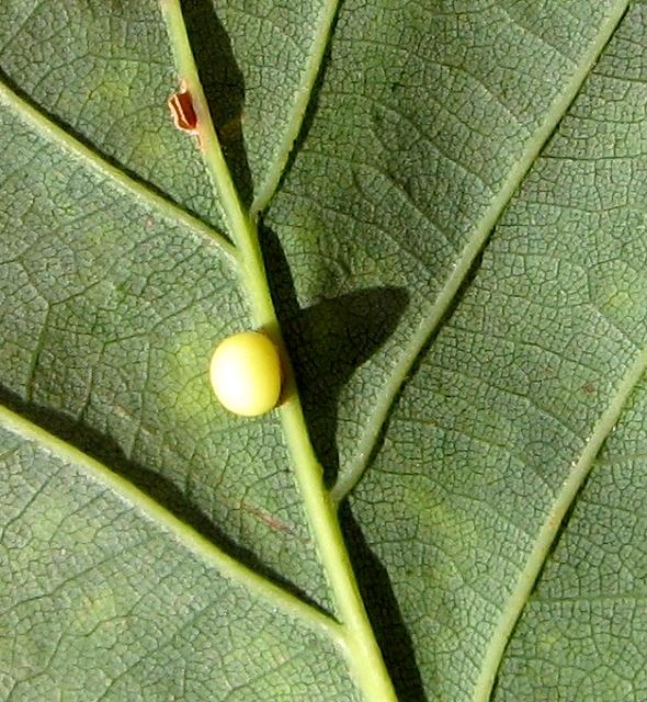 Oyster gall on oak