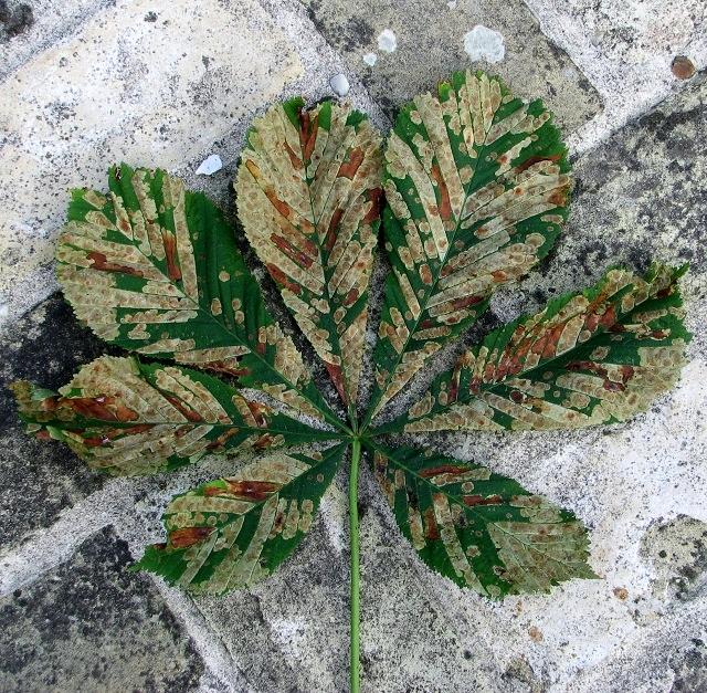 Colourful horse chestnut leaf