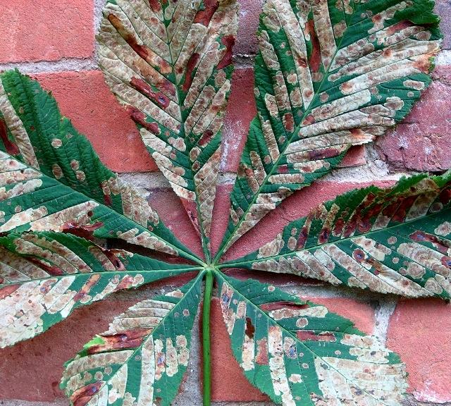 Horse chestnut leaf miner moth infestation