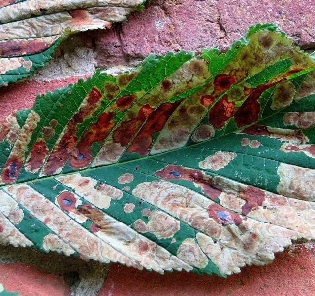 Horse chestnut leaf miner moth infestation - detail