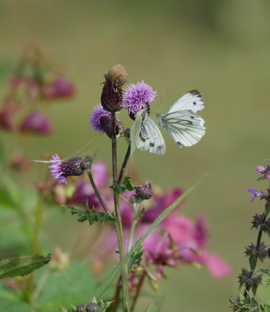 Tweedside Green-veined Whites