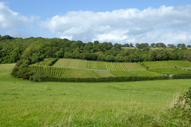 Vineyard below Brading Down