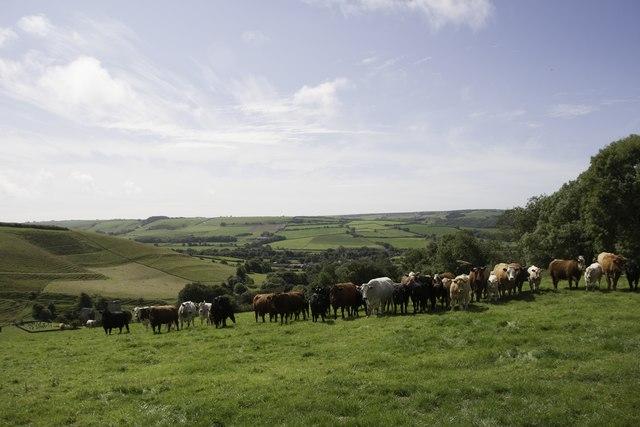 Cows at the top of Long Barrow Hill, Long Bredy