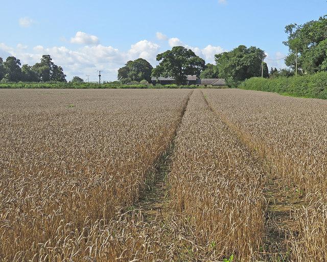 Babraham: ripe wheat at Church Farm