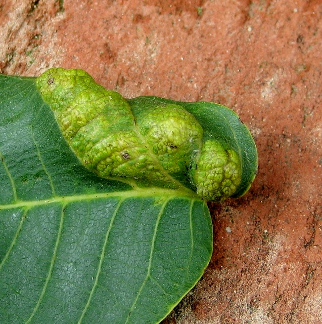 Blister gall on walnut