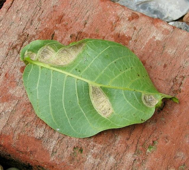 Blister galls on walnut