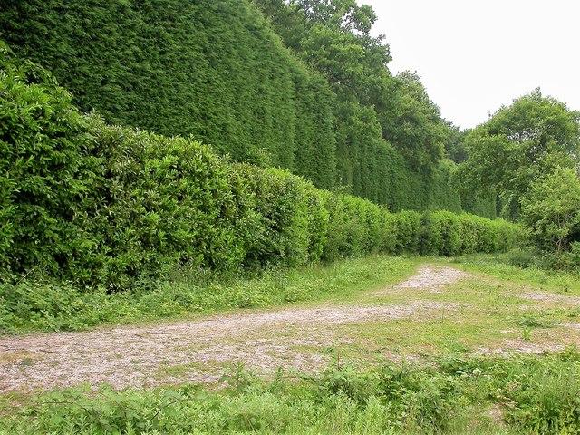 Leylandii hedge on western border of Dinglesden Wood