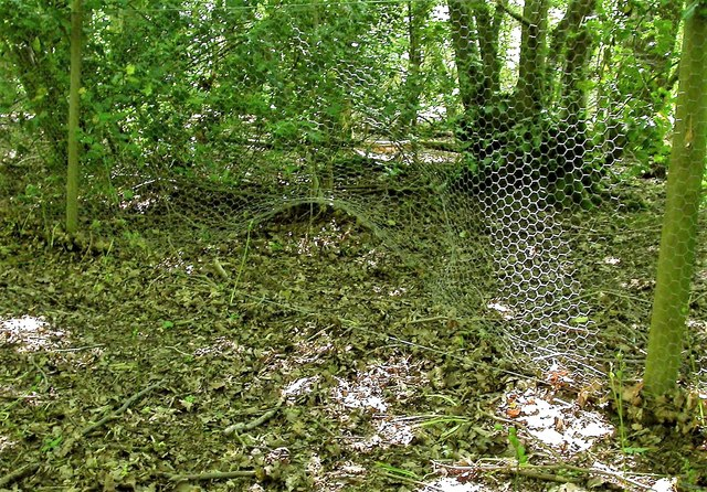 Wild boar damage to fence in Dinglesden Wood