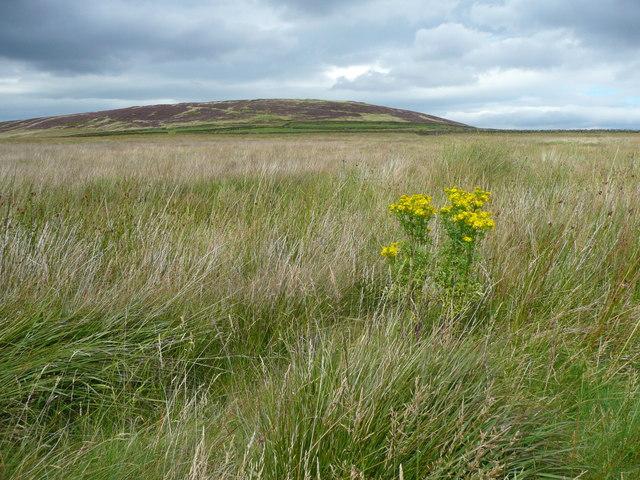 Ragwort in grassland at Dole, Wadsworth