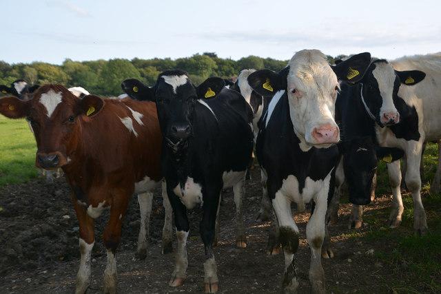 West Dorset : Grassy Field & Cattle