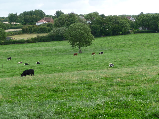 Cattle grazing south-east of Hall Green Farm