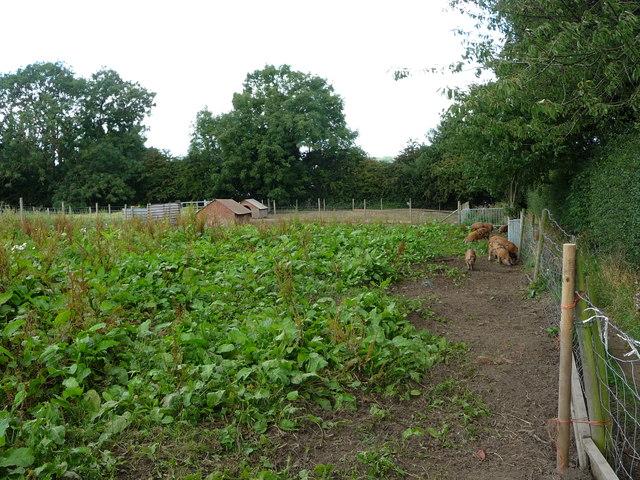 Piggery near Hall Green Farm