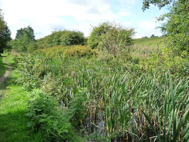 Rushes in the Pinxton Arm, near the Boat Inn