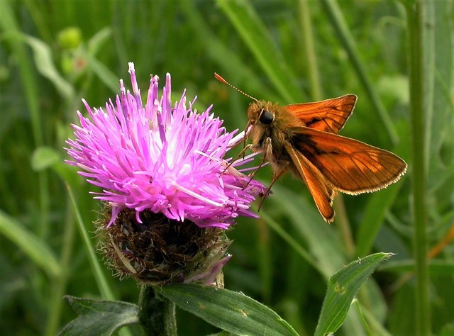 Large skipper butterfly on knapweed flower