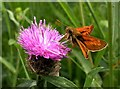 TQ7618 : Large skipper butterfly on knapweed flower by Patrick Roper