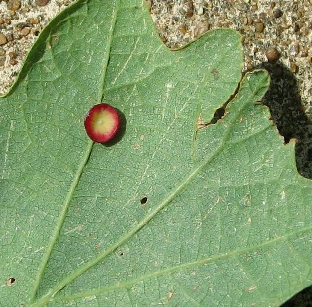 Smooth spangle gall on oak leaf