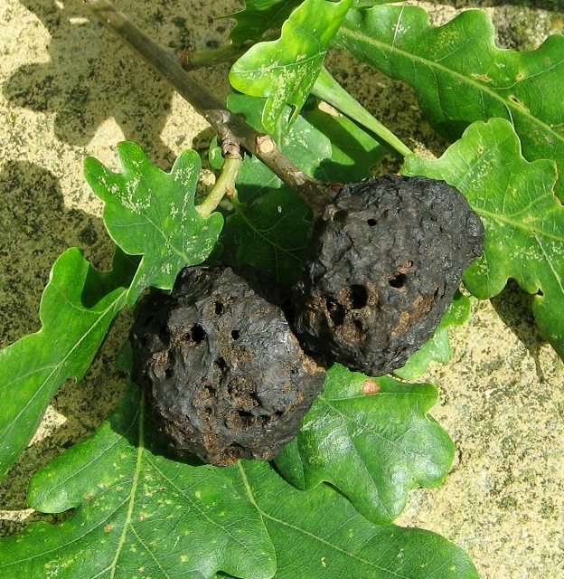 Oak apple galls