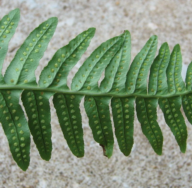 Common Polypody (Polypodium vulgare) - detail