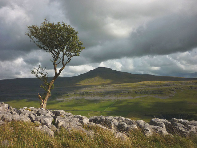 Hawthorn on the edge of Twisleton Scars