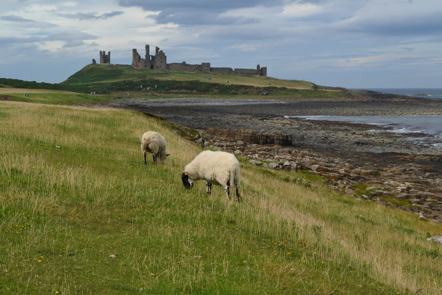 Sheep on the shore between Craster and Dunstanburgh Castle
