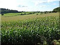 SO7790 : A field of maize by Philip Halling