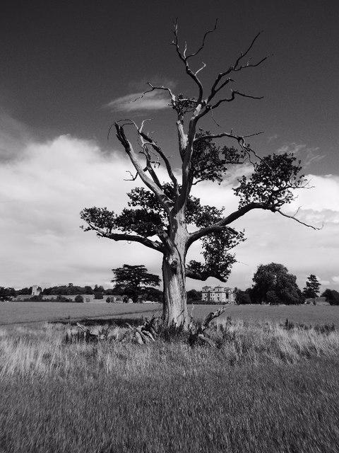 Old oak tree in Croome Park