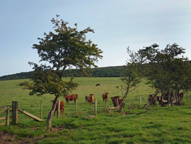 Cows & Thorn Trees