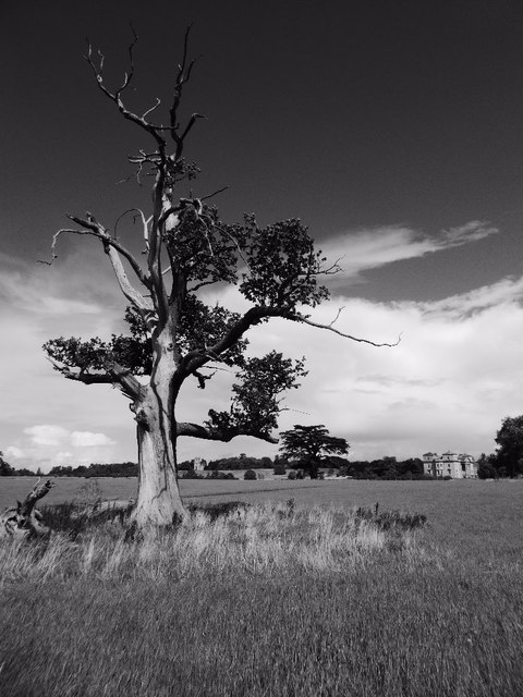 Old oak tree in Croome Park