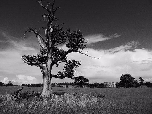 An old oak tree in Croome Park