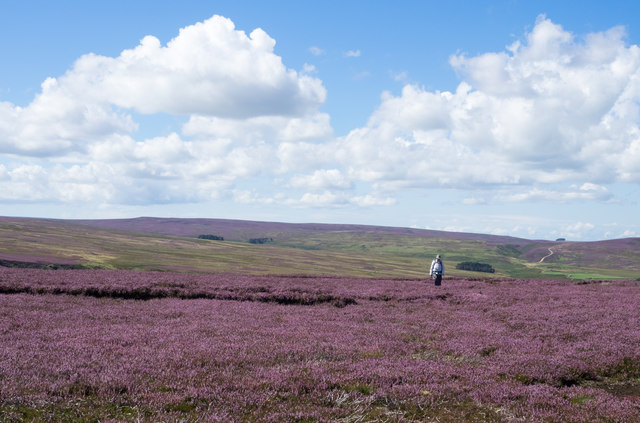 Blooming heather on Round Hill