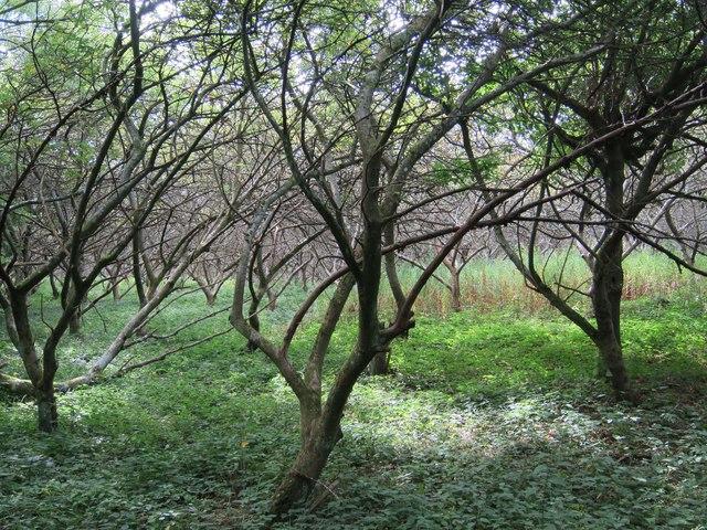 Abandoned orchard near Bramly Farm