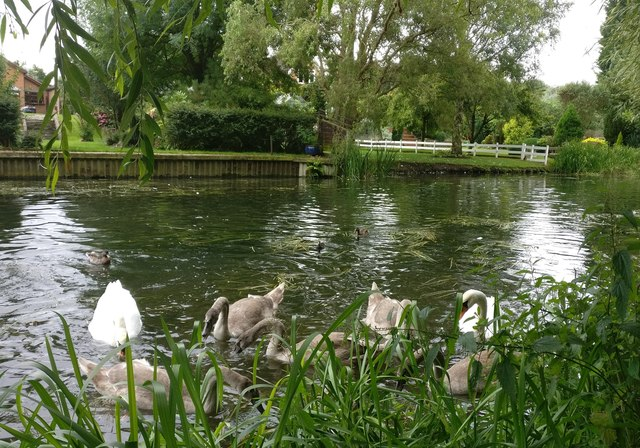 Family of swans on the Grand Union Canal