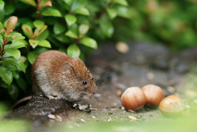Bank Vole at Forest How