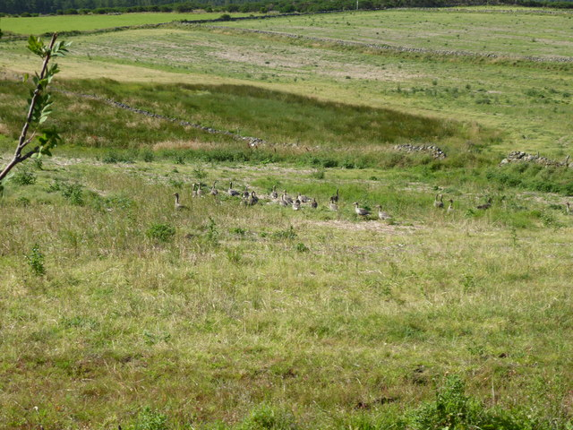 A group of Greylag on Coynach Hill, week 3 August