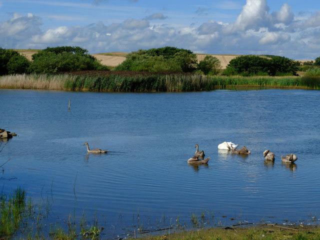 Swans on Newton Pool