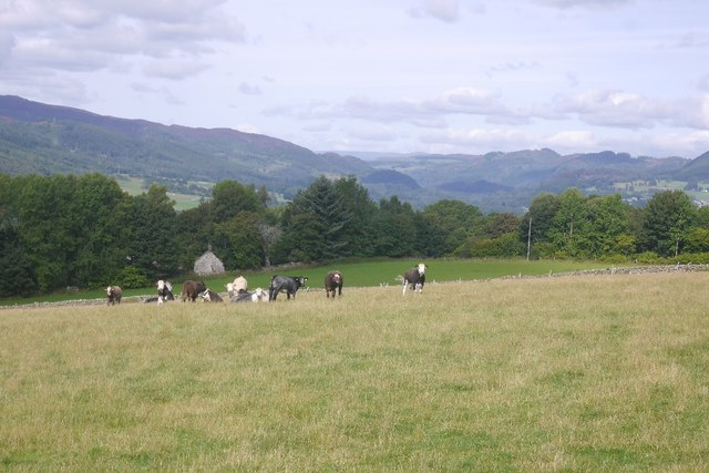Perthshire: Cattle at Dalcapon