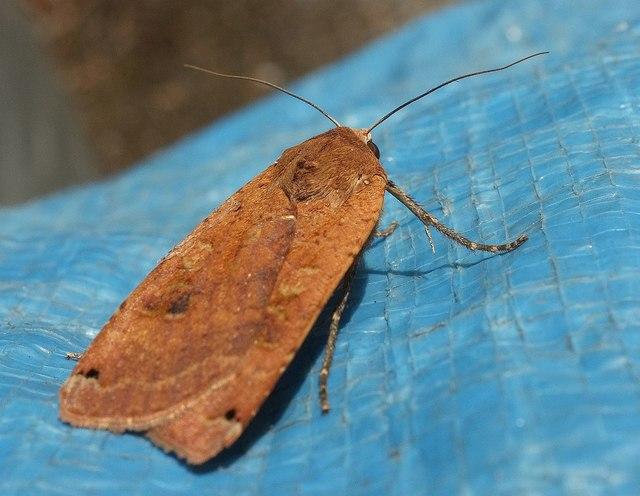 Moth, Torre
